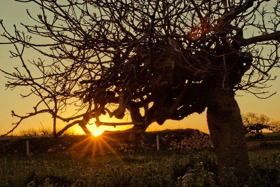 Higueras al atardecer en Formentera